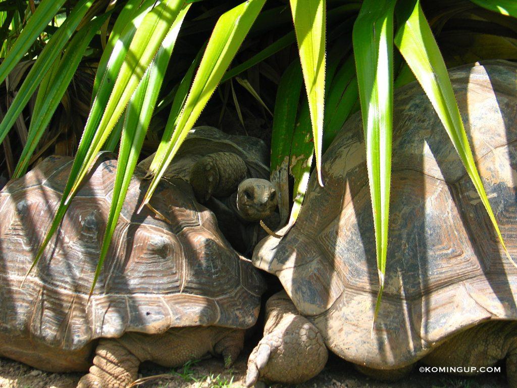 ile-rodrigues-la-reserve-de-tortues-francois-leguat