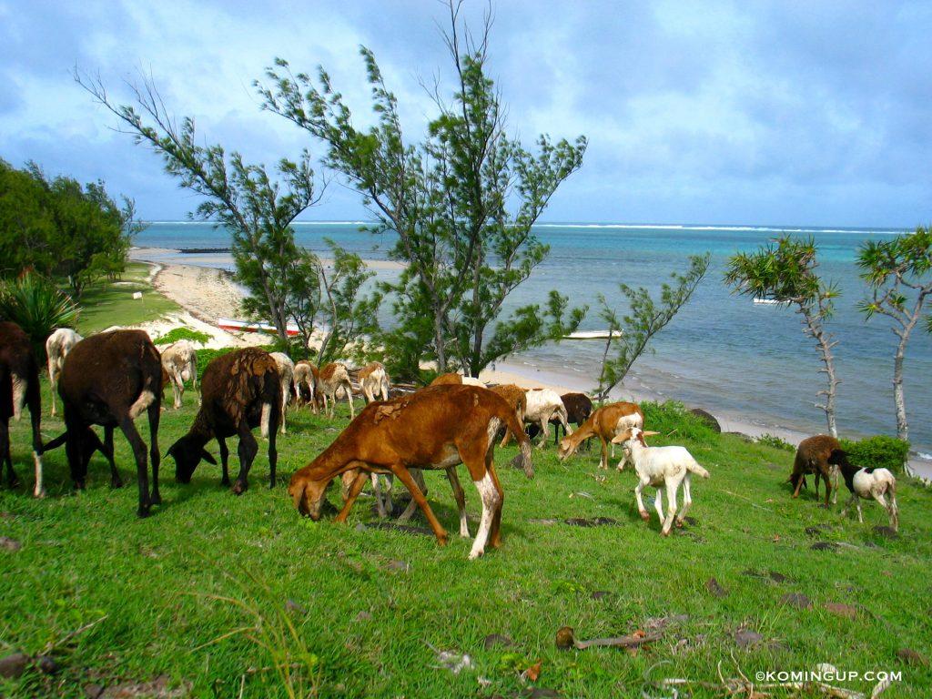 ile-rodrigues-ocean-indien-chevres-sur-la-plage-graviers